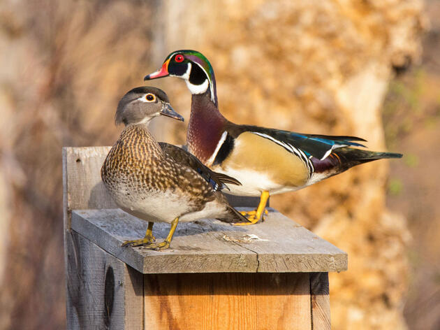 How to Build a Wood Duck Nest Box