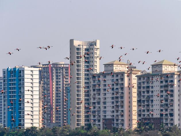 Lesser Flamingos fly through Mumbai in April, 2020. Indranil Mukherjee/AFP/Getty Images
