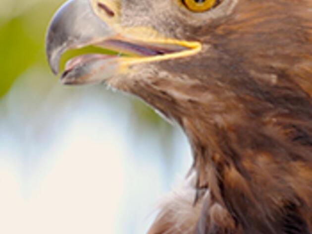 Golden Eagle Henry McCarthy