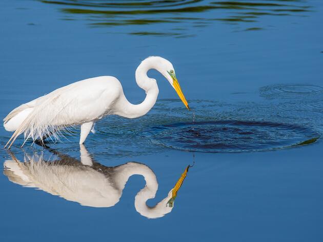 Great Egret. Patricia McGuire/Audubon Photography Awards