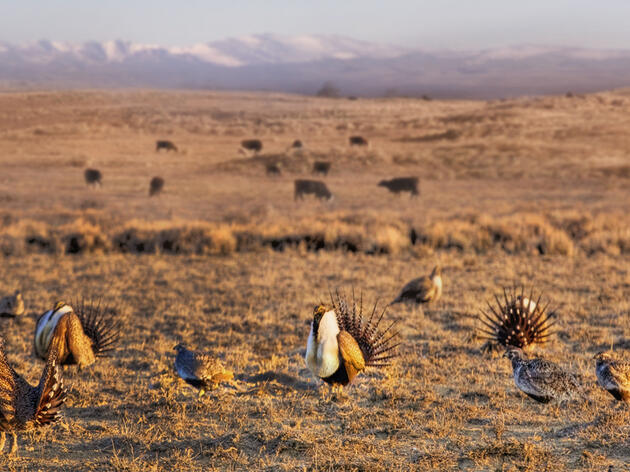 An Offset Program for Sage Grouse