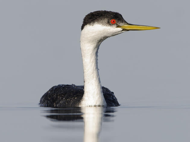 Keeping Grebes Afloat in the Intermountain West