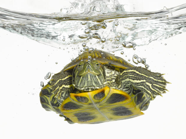 Red-eared slider turtle (Trachemys scripta elegans) in water Photograph by Don Farrall/Getty Images