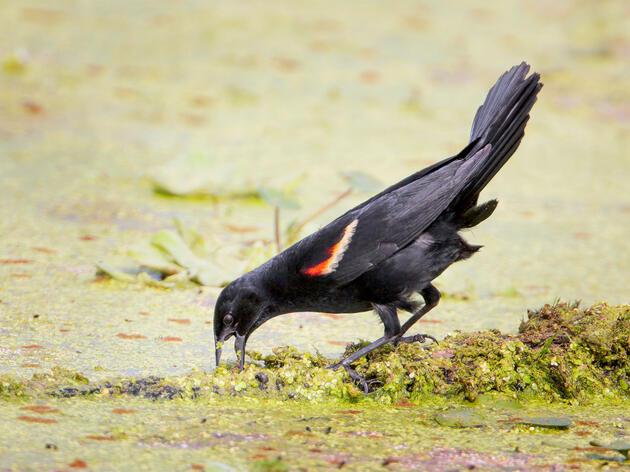 Red-winged Blackbird. Greg Lavaty