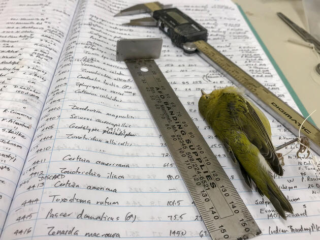 Tennessee Warbler and ledger kept by Field Museum ornithologist and collections manager emeritus David Willard. Kate Golembiewski/Field Museum
