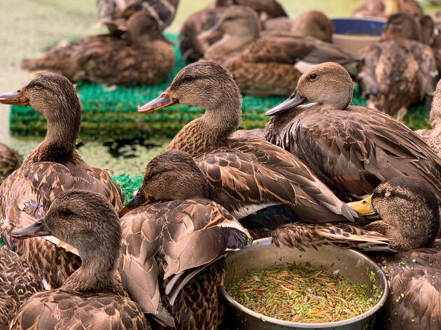 Mallards, Northern Pintails, and Gadwalls recovering in an enclosed pool at the Bird Ally X botulism response field hospital. Courtesy of Bird Ally X