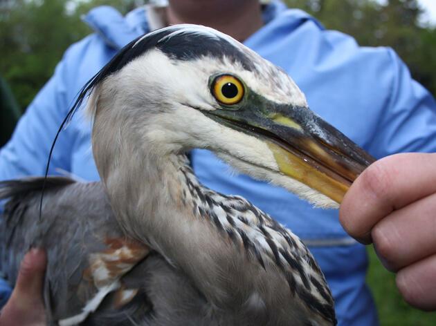 Harper the Heron. Maine Department of Inland Fisheries and Wildlife