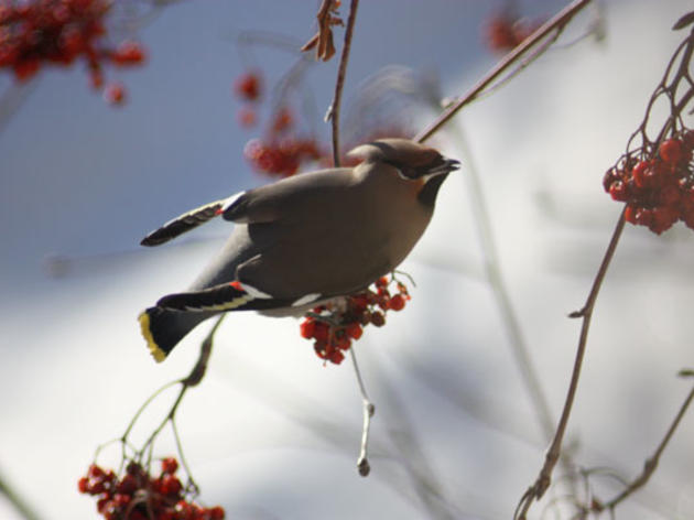 Ring in the Holidays with the Audubon Christmas Bird Count