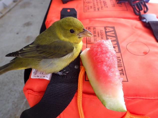 Homeslice feeds on fruit atop of the R/V Atlantis's life jackets. Shana Goffredi
