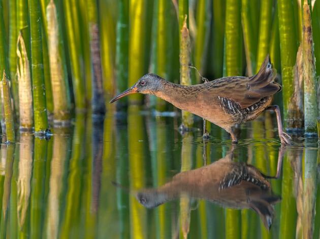 Monitoring Secretive Marsh Birds in the Great Lakes Region