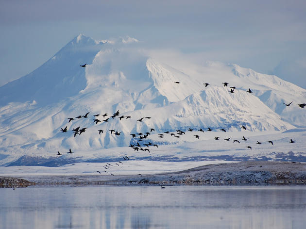 Most of Izemberek Lagoon is dedicated wilderness, per the Act, and is home to Brants seen here. Credit: Kristine Sowl