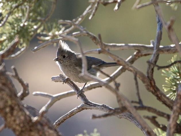 Juniper Titmouse. John D./Audubon Donor Insight Panel