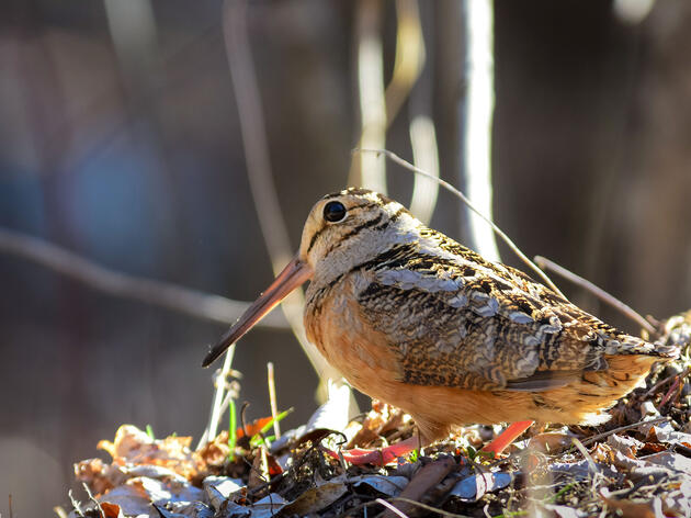 Do Yourself a Favor This Spring: Go See the American Woodcock's 'Sky Dance'
