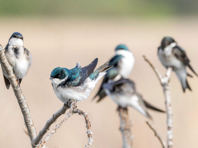 Tree Swallows in the Central Valley region of California. Cultura Creative/Alamy