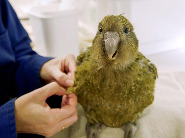 Fast-Acting Kākāpō Scientists Curb Fungal Disease That Killed Seven Birds