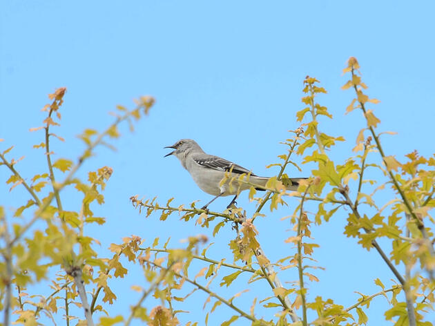 Are You Listening to a Bird Mimic or the Real Deal?