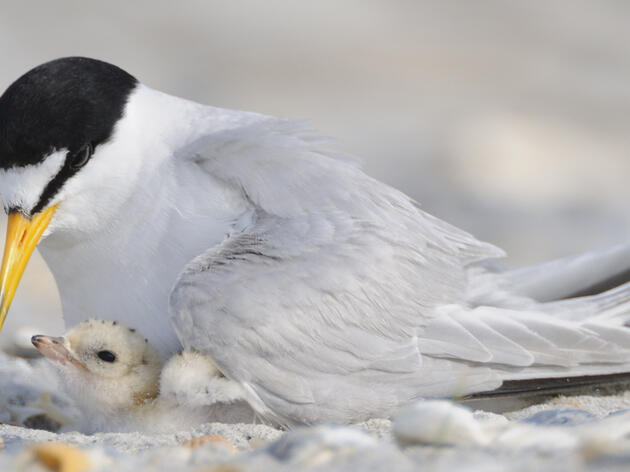 Least tern adult and chick Walker Golder