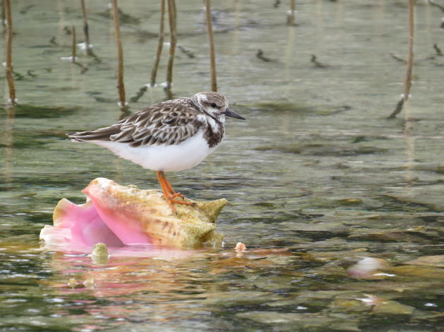 Audubon staff survey newly 'discovered' wintering grounds in the Bahamas