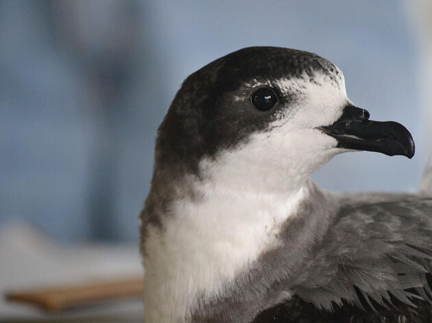 Confirmed: Two Endangered Seabirds Have Been Rediscovered on Oahu