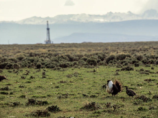 A Greater Sage-Grouse stands near Pinedale, Wyoming, in an area being developed for natural gas drilling. Joel Sartore