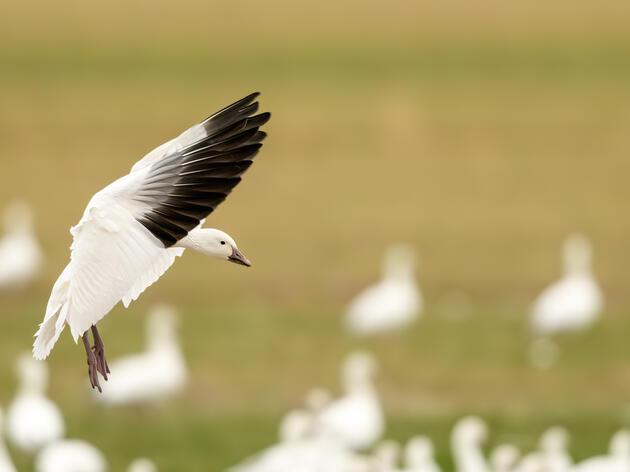 Snow Goose. Maruthi Naga Vamsi Krishna Prasad Kotti/Audubon Photography Awards