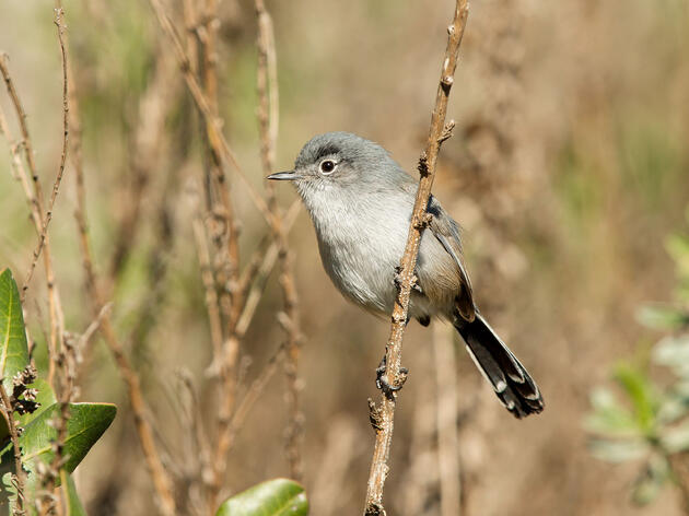 """""""Did someone say it's time to party?"""" This Coastal California Gnatcatcher, probably. Bob Steele/Minden"""
