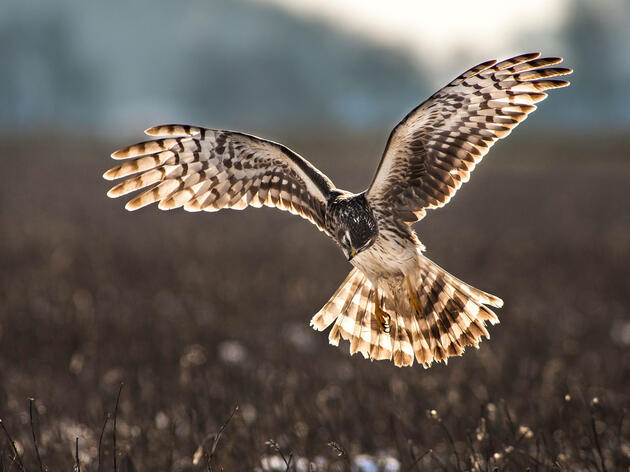 Despite Recovery Plan, the U.K.'s Imperiled Hen Harrier Is Still in Serious Trouble