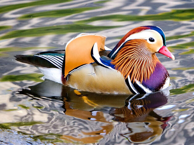 "THE Central Park Mandarin Duck, a.k.a. ""hot duck."" Holly Mascaro"
