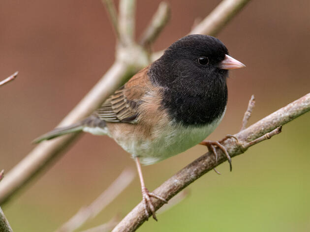Dark-eyed Juncos, Backyard Gems, Come in a Dazzling Array of Colors