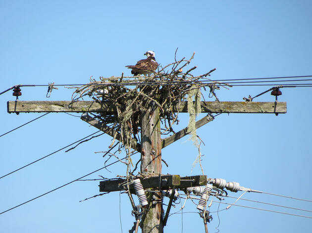 Osprey nesting on a utility pole. The pair was later successfully relocated to a freestanding nest structure. Stuart Sloan
