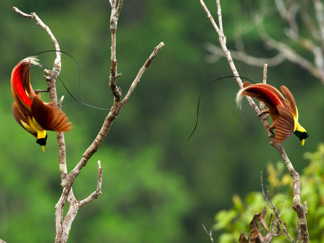Red Birds-of-Paradise displaying in the trees of West Papua in New Guinea. They share their tropical forests with the vibrantly colored Wilson's Bird-of-Paradise. BBC AMERICA