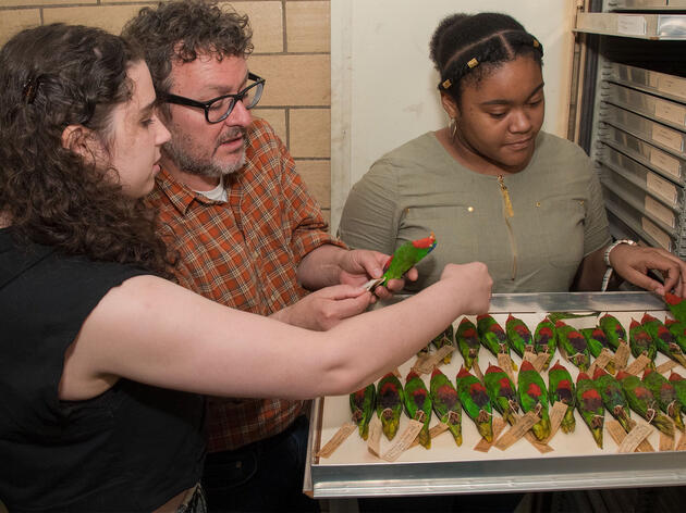 Regina Hashim (left) and Angelic Henry (right) inspect Blue-crowned Lorikeet specimens collected during the Whitney South Sea Expedition with AMNH ornithology collections manager Paul Sweet. M. Shanley/AMNH