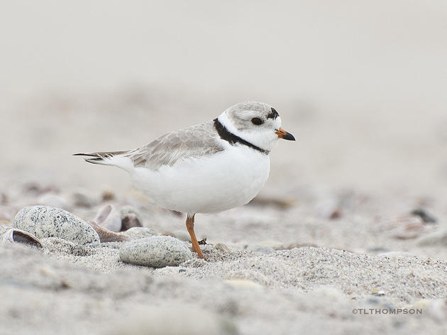 Sharing our Shores:   Managing Municipal Coastal Resources for Birds and People