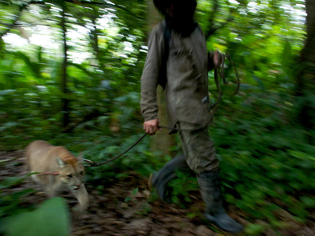 Walking a Puma on a South American Volunteer Vacation