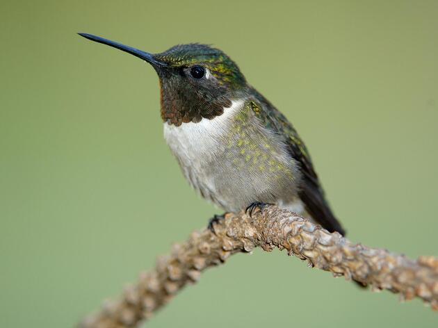 Strawberry Plains Celebrates Hummingbird Migration