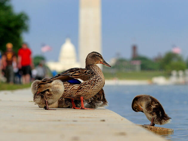 After Dozens of Duck Deaths, the Lincoln Memorial Reflecting Pool Gets Drained