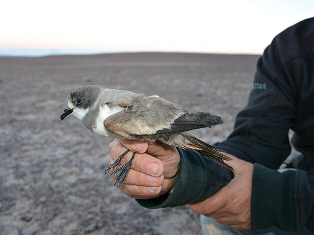 Hornby's Storm-Petrels Have Found a Home in the Driest Place on the Planet