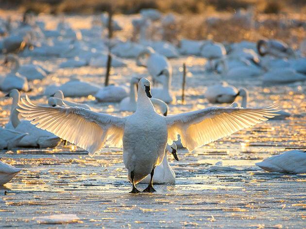 Birdist Rule #48: Go Find a Swan—a Wild Swan