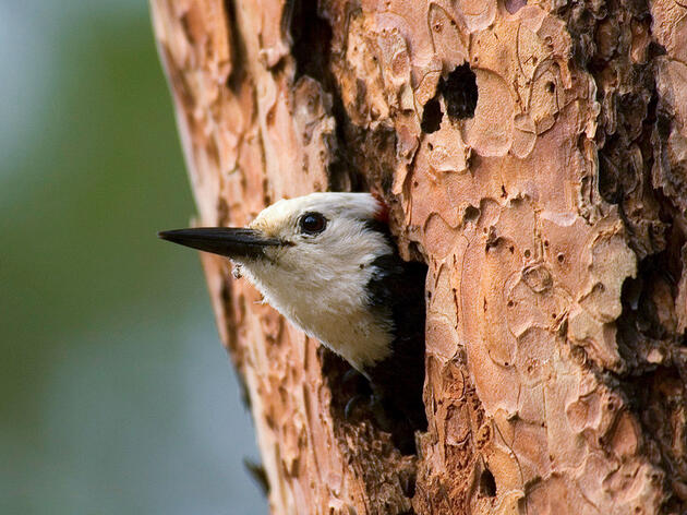 White-headed Woodpecker nesting in a Ponderosa Pine, Deschutes National Forest, Oregon. George Ostertag/Alamy