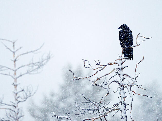 Did Folklore Help Bring Denmark's Ravens Back From the Brink?
