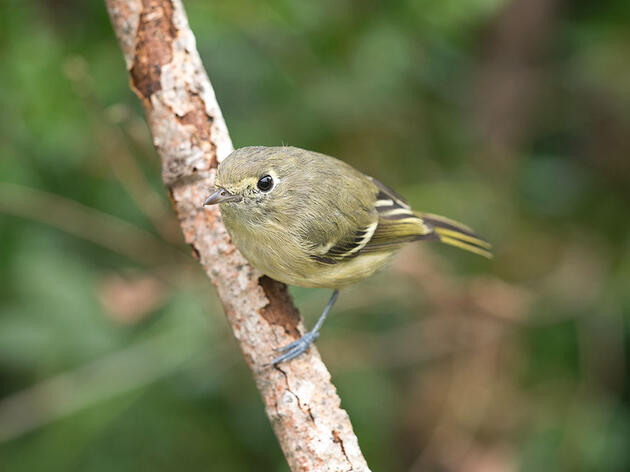 How to Tell Vireos From Warblers, Flycatchers, and Kinglets