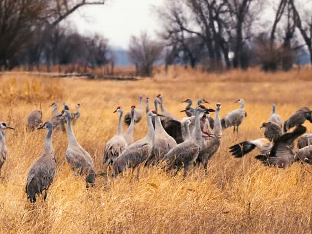 Watch Thousands of Sandhill Cranes Lift Off From the Platte River at Sunrise