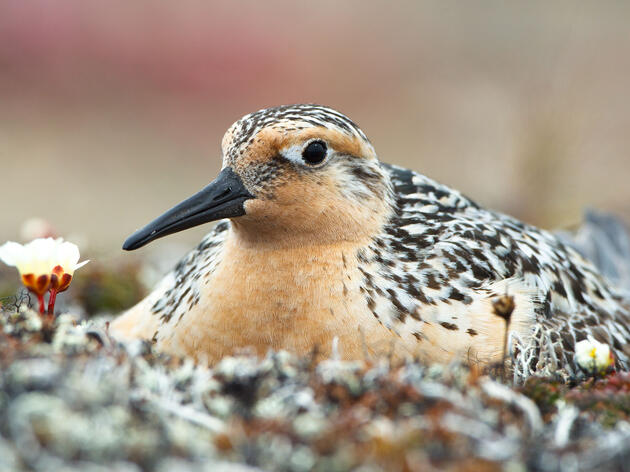A Red Knot nesting on a coastal gravel spit in Chukotka, Russia. Gerrit Vyn/Nature Picture Library