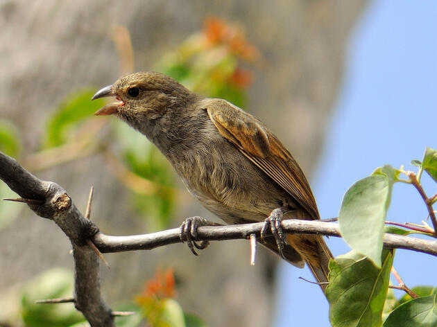 Barbados Bullfinch. Richard Stead