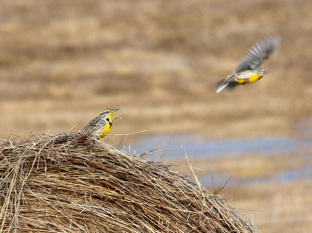 A pair of Western Meadowlarks in the Kulm Wetland Management District of North Dakota. USFWS