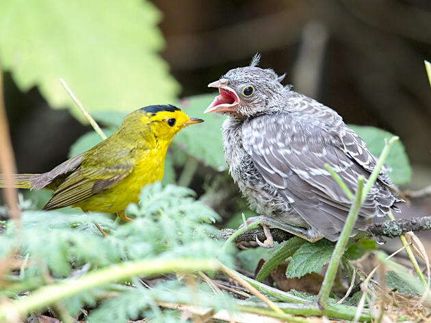 """A Wilson's Warbler is dwarfed by the Brown-headed Cowbird chick that it's trying to raise. Despite the mismatch with their """"adoptive"""" parents, these parasitic chicks still retain their cowbird instincts. Beth Hamel"""