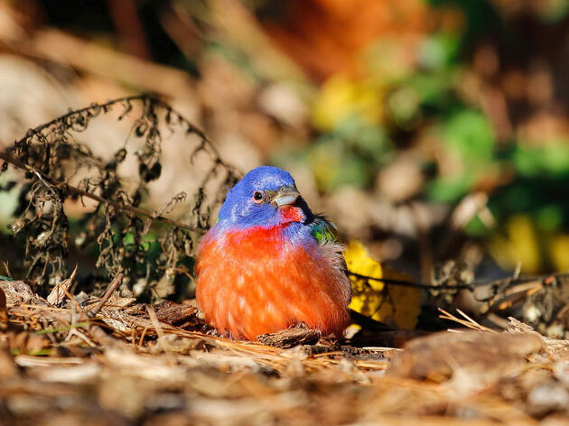 """Painted Bunting in Prospect Park, Brooklyn. <a href=""""http://www.nycwild.com/"""">Ryan Morrissey</a>"""