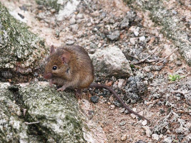 A mouse of Farallon National Wildlife Refuge. Matt Brady