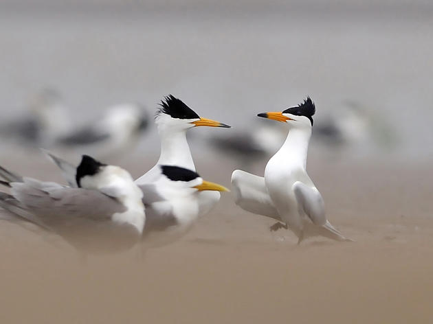 A pair of Chinese Crested Terns—look for the black-tipped beaks—mingle with their more common cousins, Greater Crested Terns. Jiang Kehong/Xinhua Press/Corbis