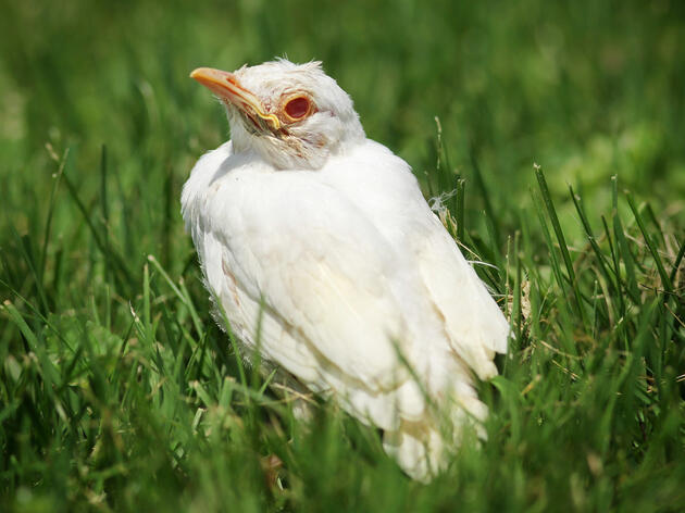 Is this American Robin albino? (Hint: Don't just look at the feathers—look at the face.) ZUMA Press/Alamy